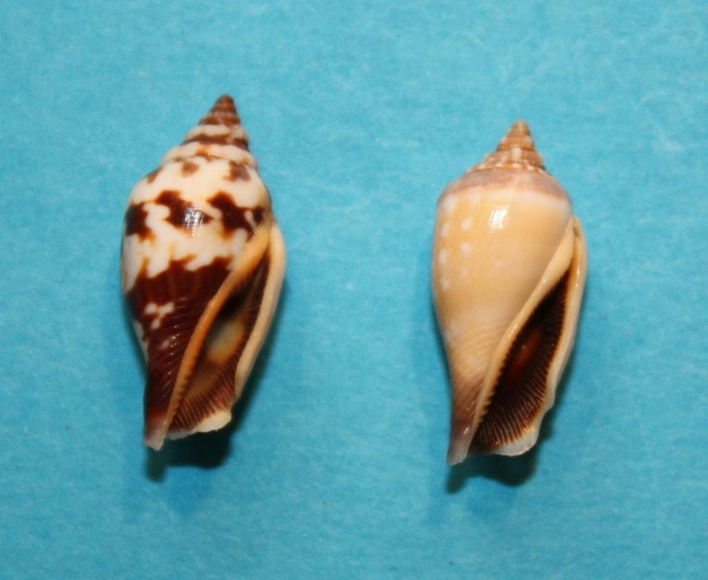 Canarium microurceus - Kira, 1959 1-cana10