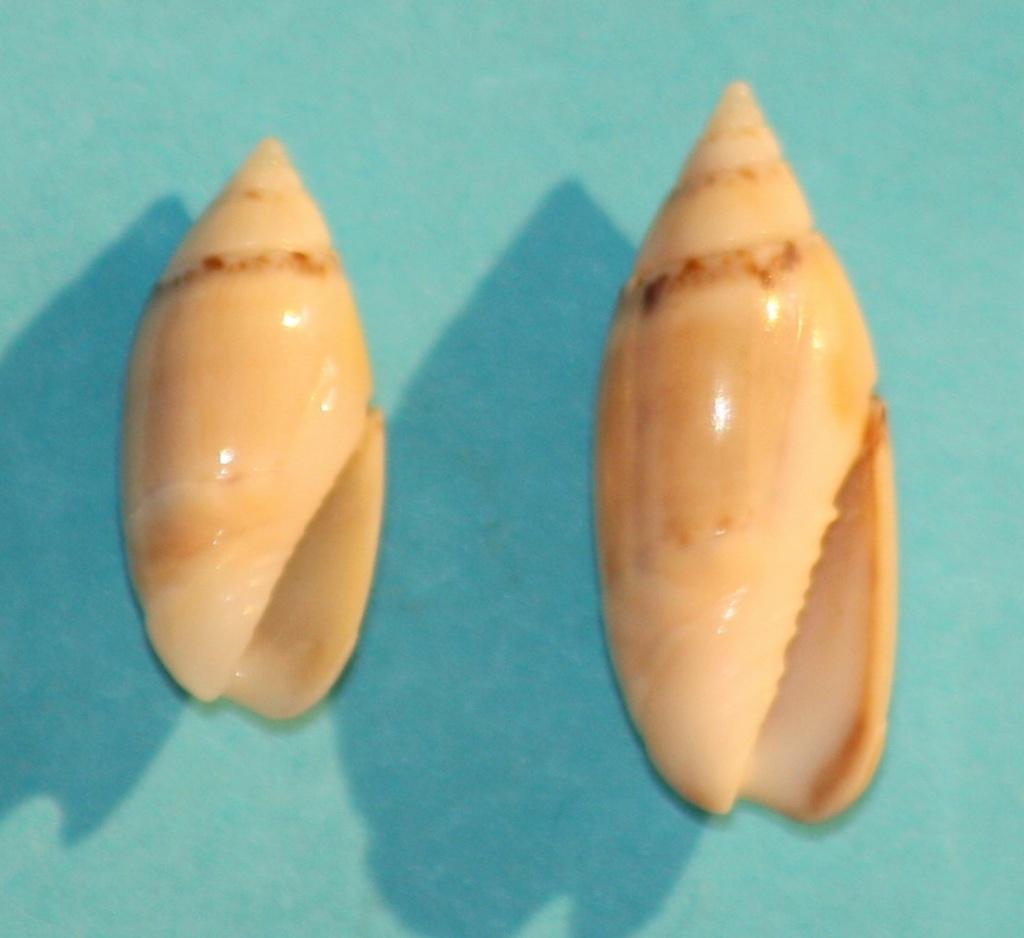 Olivella dealbata - (Reeve, 1850)  voir Dactylidia mica (Duclos, 1835) 1-isla10