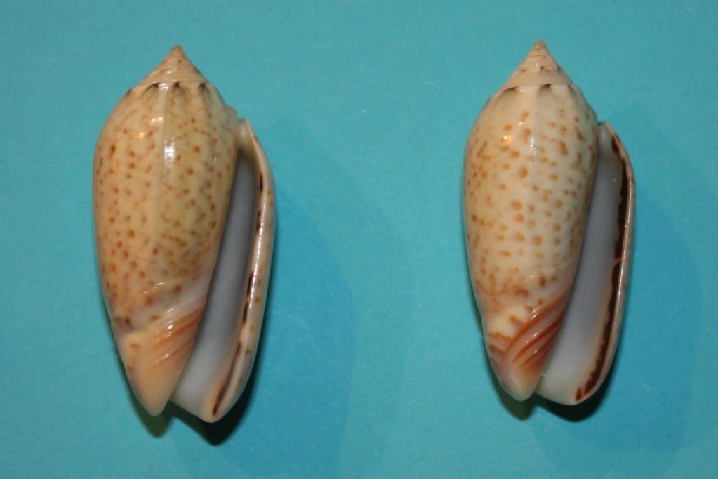 Americoliva pindarina (Duclos, 1840) 1-left10