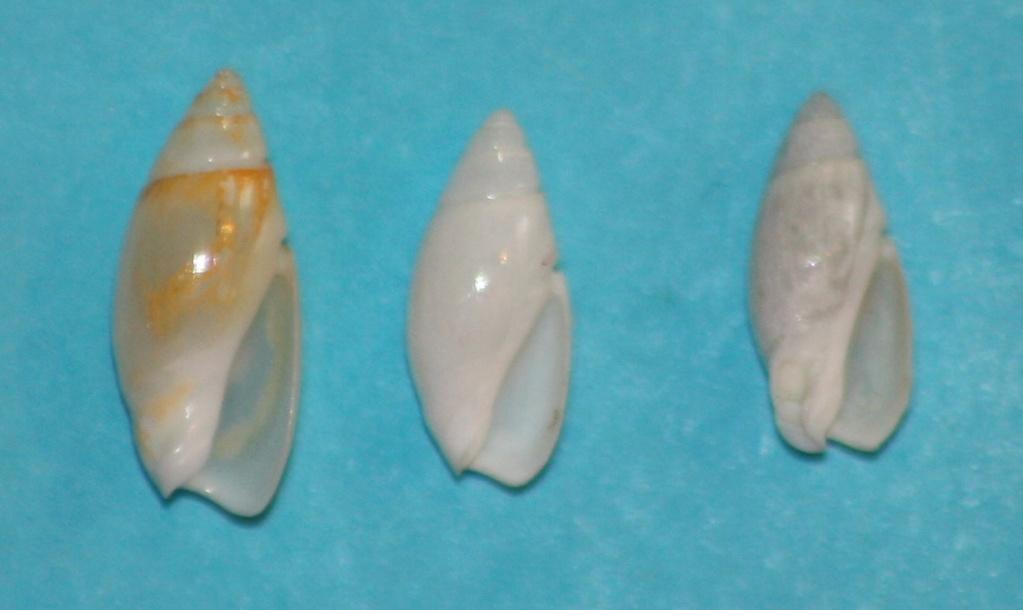 Olivella puelcha (Duclos, 1835) 1-left13