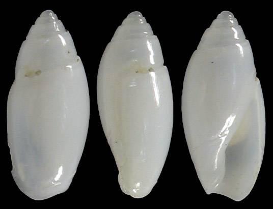 Olivella plana (Marrat, 1871) 1-oliv12