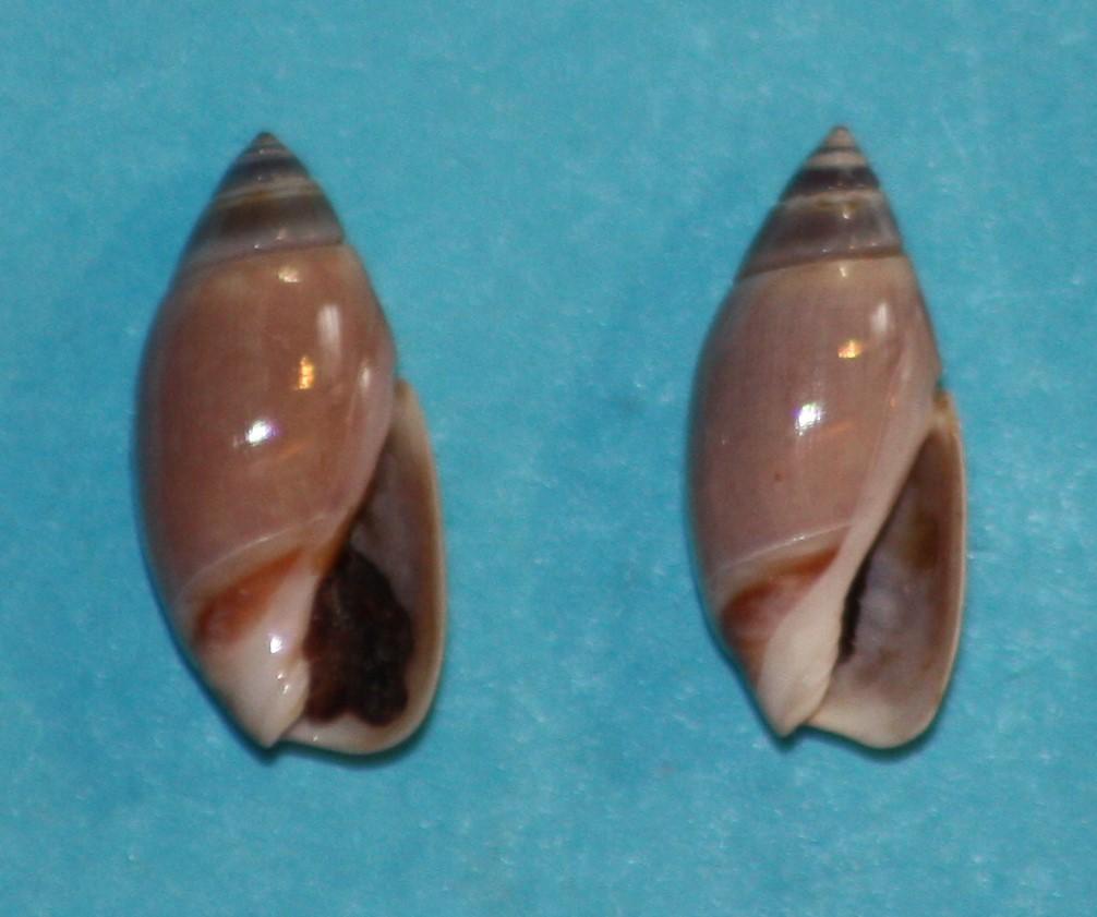 Olivella tehuelcha (Duclos, 1835) 1-san_10