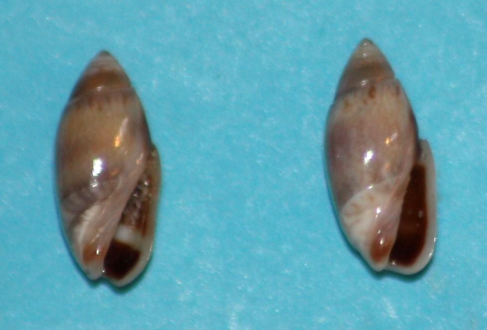 Olivella pusilla (Marrat, 1871) ou Dactylidia pusilla (Marrat, 1871) 1-tarp10