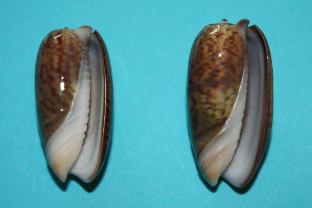 Viduoliva neostina (Duclos, 1840) 1-vidu10