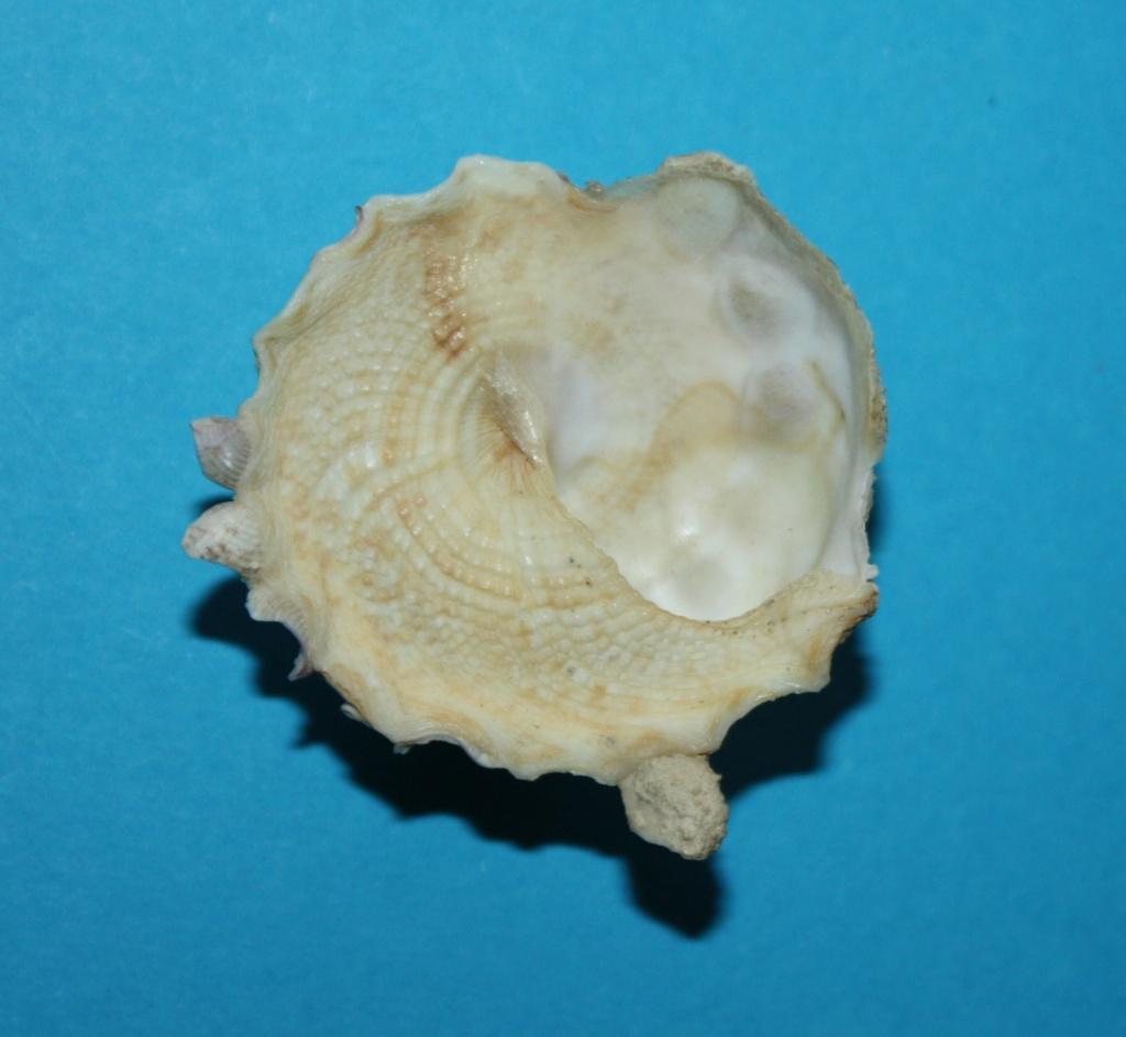 Xenophora corrugata - (Reeve, 1842) 1-xeno11