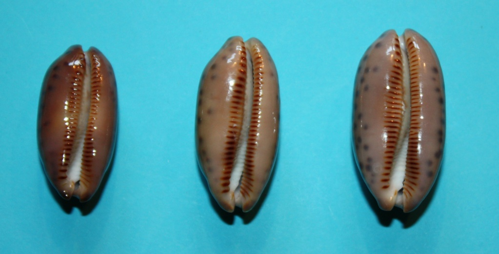 Mauritia scurra mundula - Lorenz, 2002  voir  Mauritia scurra scurra - (Gmelin, 1791) 1013