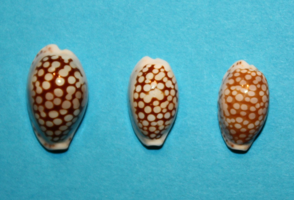 Cribrarula esontropia francescoi - Lorenz, 2002 - Page 2 1022