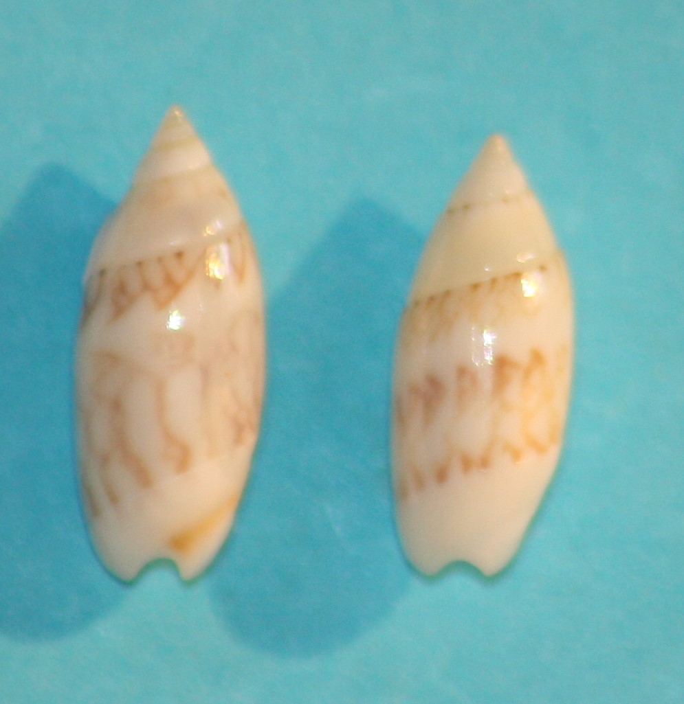 Olivella dealbata - (Reeve, 1850)  voir Dactylidia mica (Duclos, 1835) 10_bon10