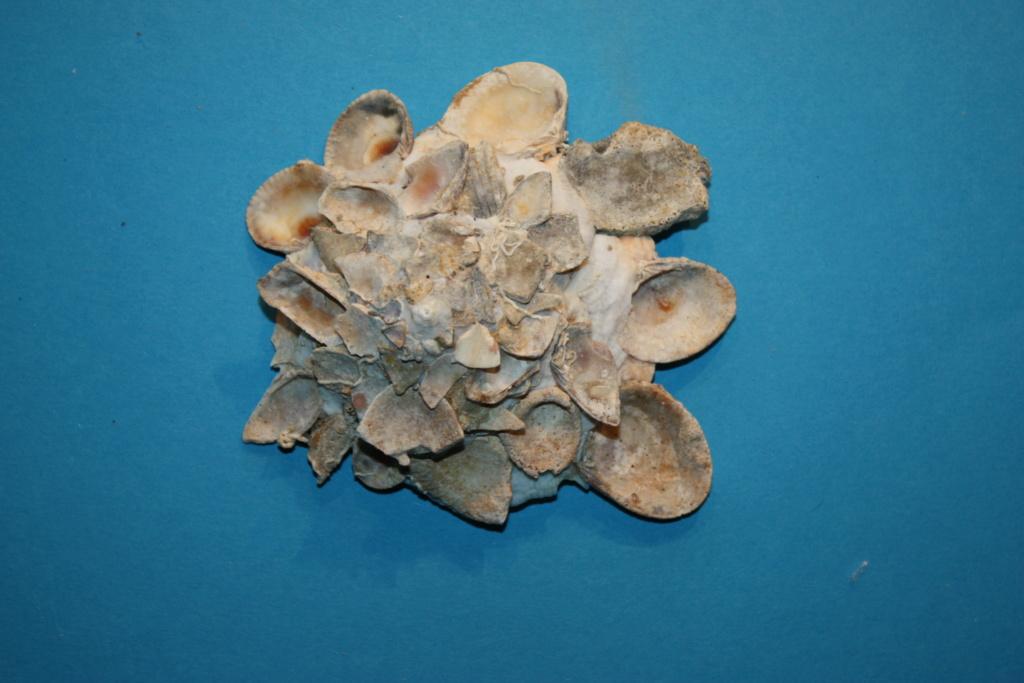 Xenophora tulearensis Stewart & Kosuge, 1993 voir. Xenophora (Xenophora) corrugata (Reeve, 1842) 10_tul10