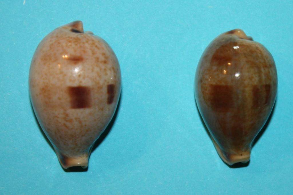 Erronea pyriformis - (Gray, 1824) 11-err10