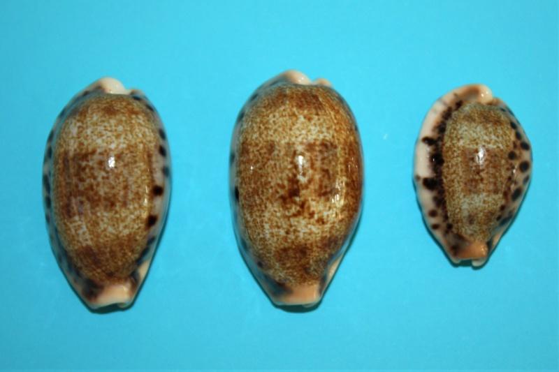 Erronea caurica nabeqensis - Heiman & Mienis, 2000 voir Erronea caurica quinquefasciata (Röding, 1798) 110