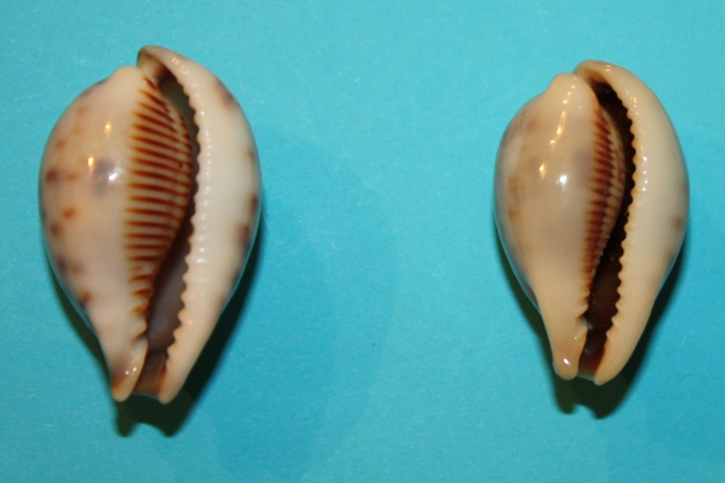 Erronea pyriformis - (Gray, 1824) 12-err10