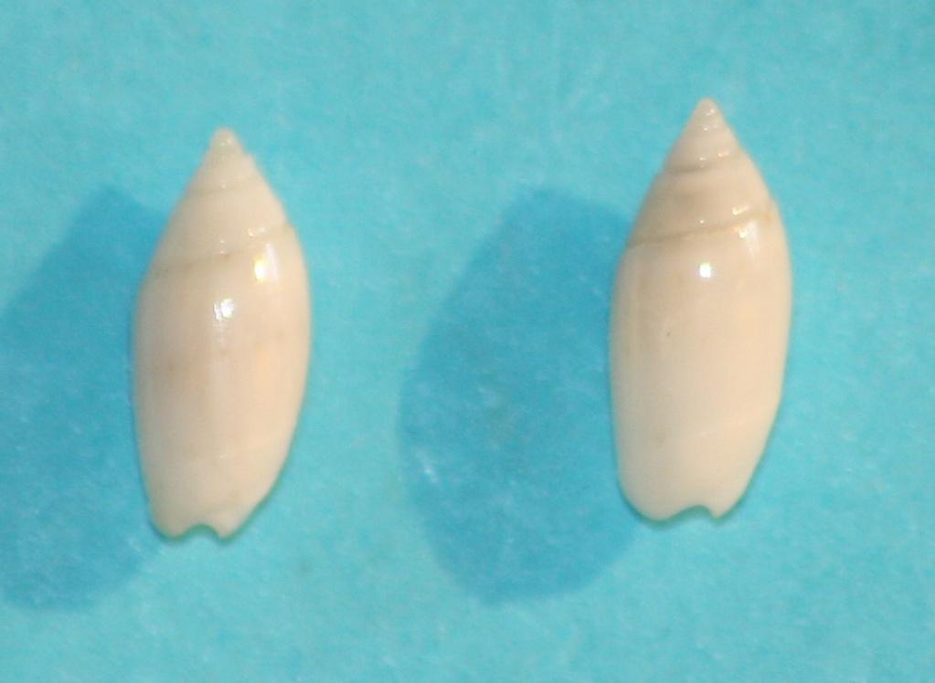 Olivella dealbata - (Reeve, 1850)  voir Dactylidia mica (Duclos, 1835) 1215