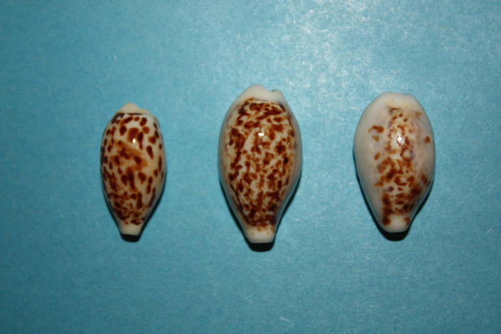 Eclogavena coxeni coxeni (Cox, 1873) (alternate representation) voir Eclogavena coxeni (Cox, 1873)  13-ecl10
