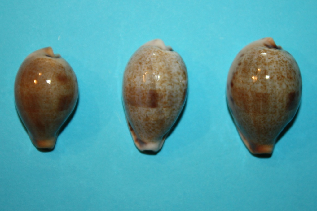Erronea pyriformis smithi - (Sowerby, 1881) 13-err10