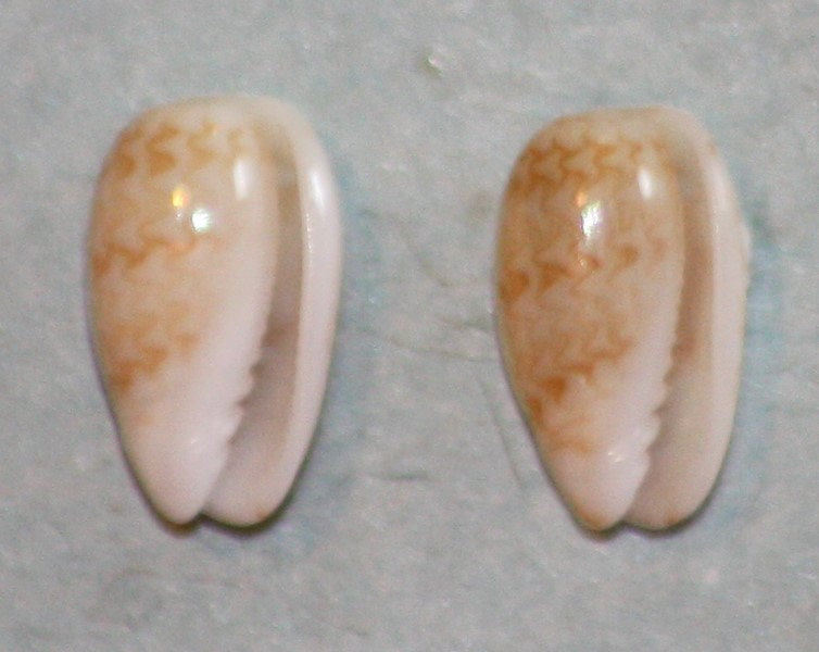 Gibberula pulchella - (Kiener, 1834) 130