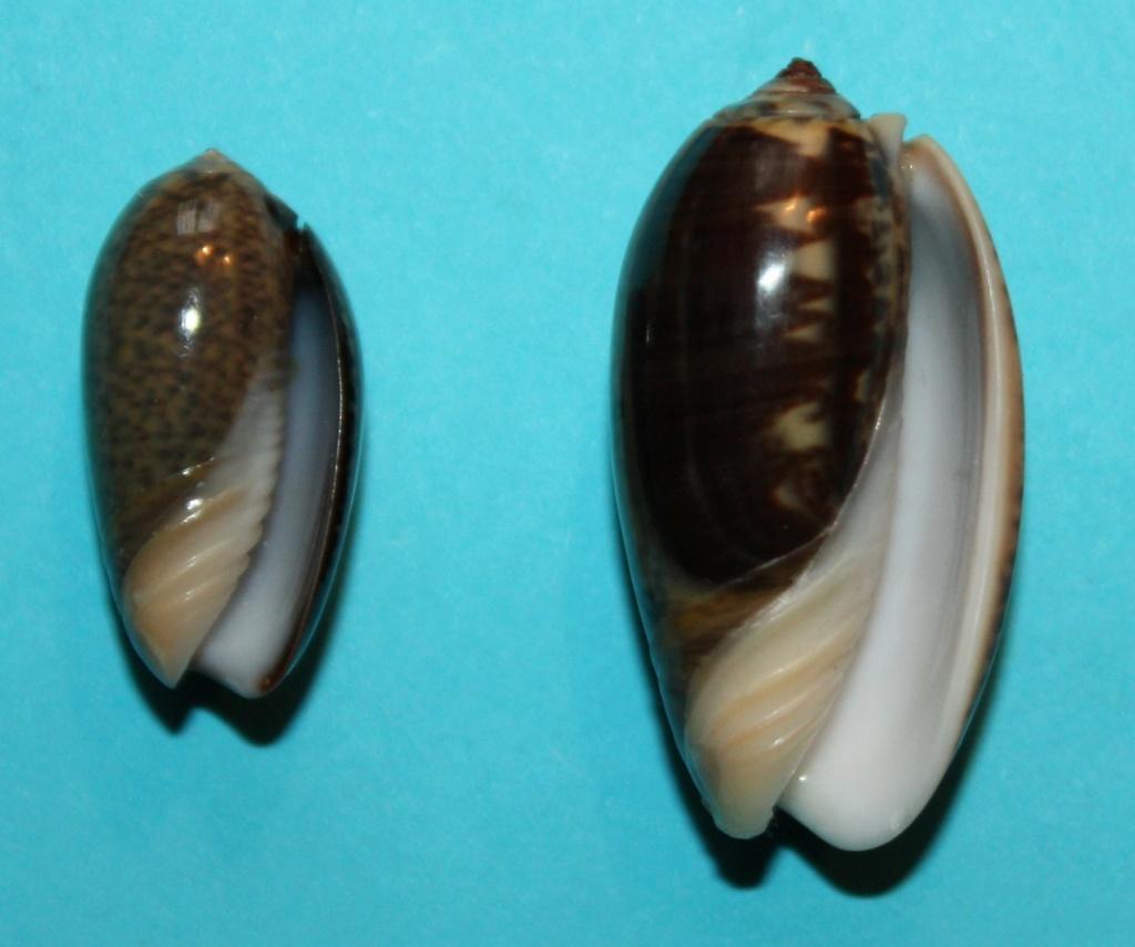 Carmione lecoquiana (Ducros de St Germain, 1857) - Worms = Oliva lecoquiana Ducros de Saint Germain, 1857 132