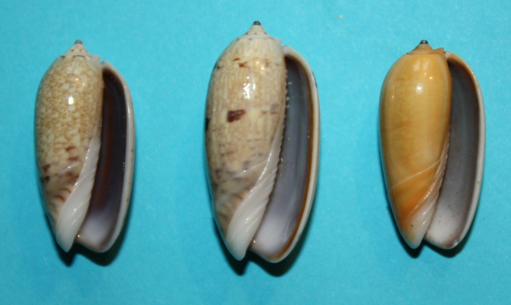 Carmione bulbiformis f. similis (Marrat, 1867) voir Carmione bulbiformis (Duclos, 1840) 133