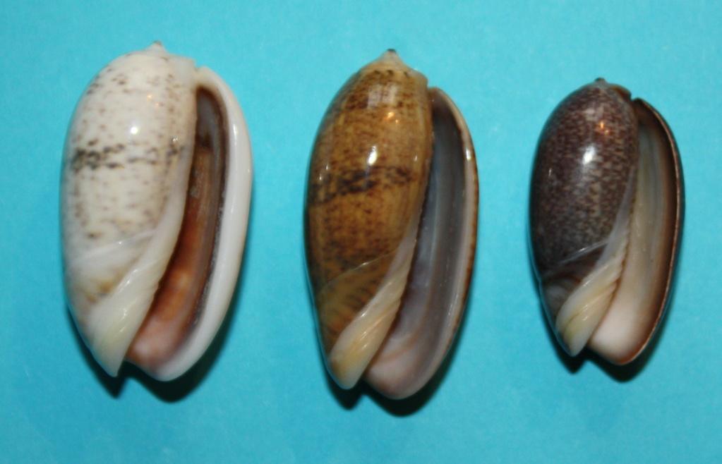Carmione bulbiformis (Duclos, 1840) - Worms = Oliva bulbiformis Duclos, 1840 134