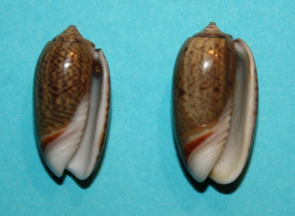 Carmione dactyliola (Duclos, 1835) 135
