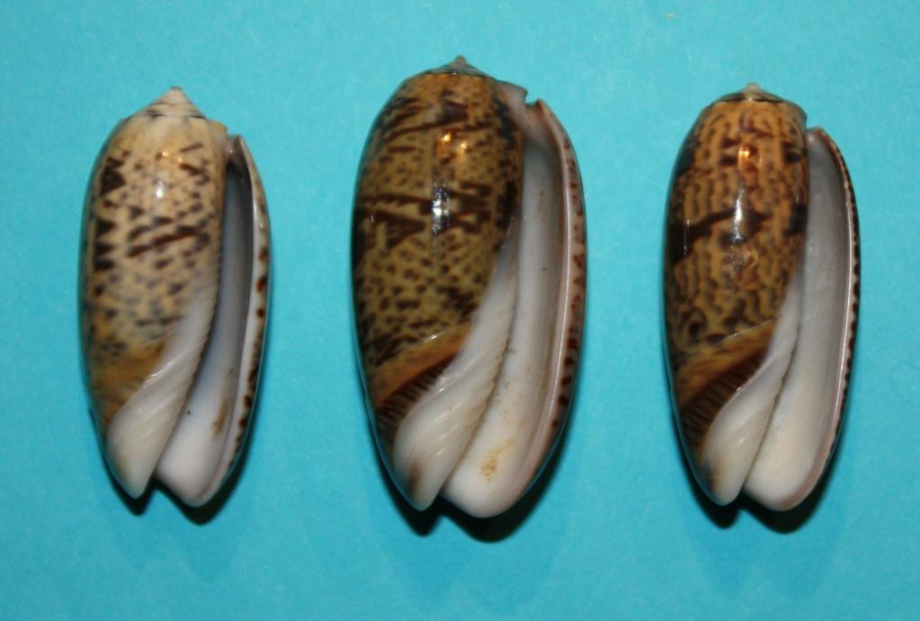 Carmione keeni (Marrat, 1870) - Worms = Oliva keenii Marrat, 1870 136