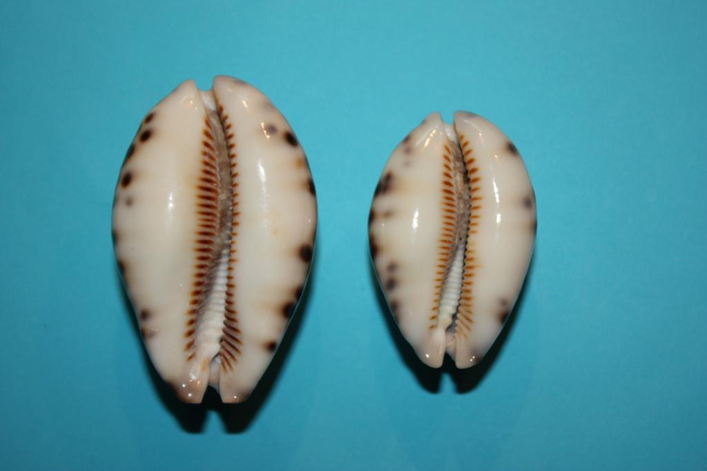 Mauritia histrio - (Gmelin, 1791) - Page 4 13_rig10