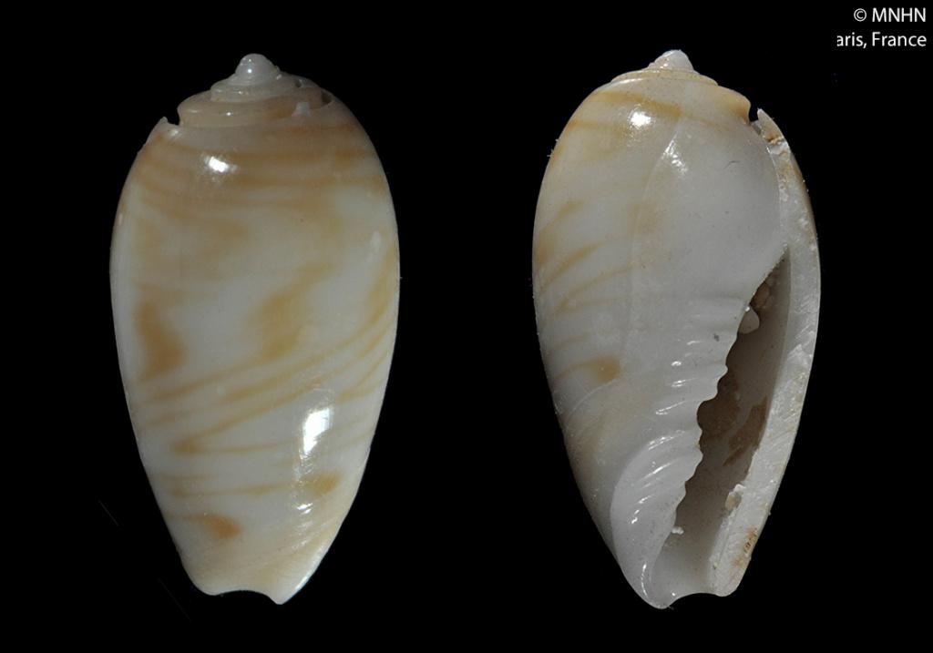 Olivella marginelloides (Paulmier, 2007) ou Macgintiella marginelloides Paulmier, 2007 14159011