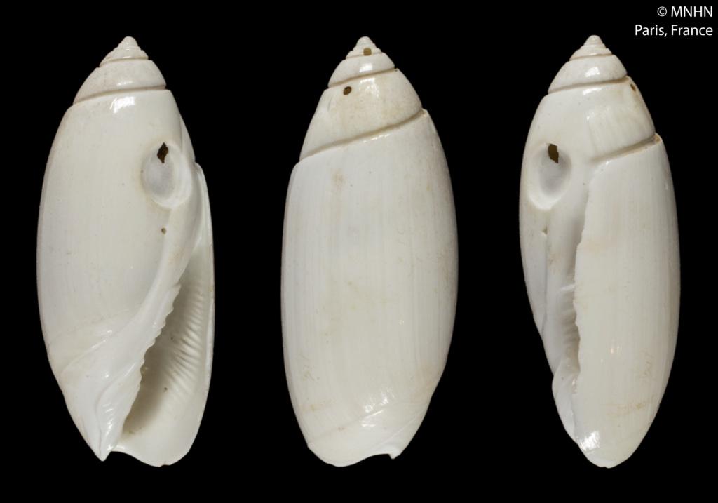 Olivella dolichomorpha (Paulmier, 2007) ou Macgintiella dolichomorpha Paulmier, 2007 14480210