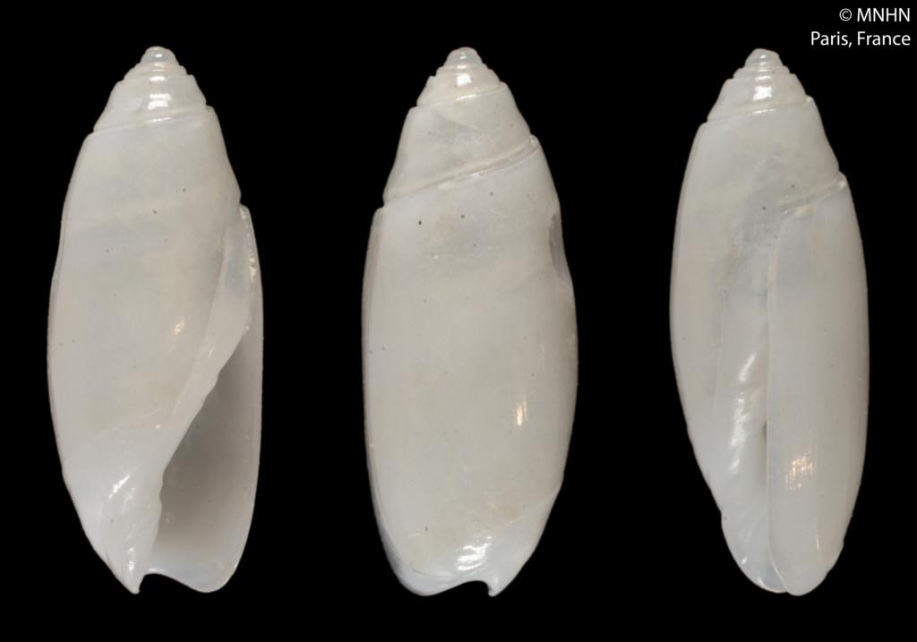 Olivella albina (Paulmier, 2015) 14486211