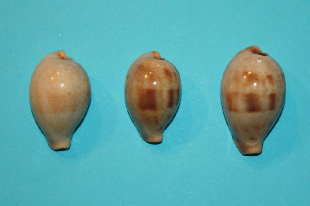 Erronea pyriformis - (Gray, 1824) 15-err10