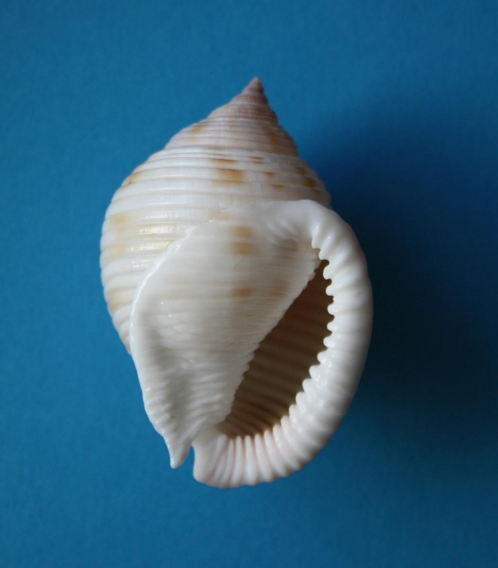 Semicassis umbilicata - (Pease, 1861) 152