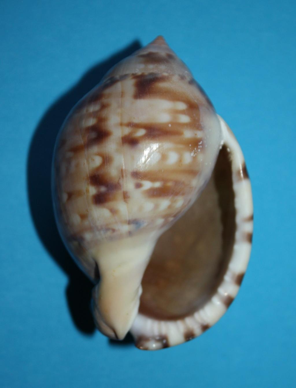 Semicassis labiata - (Perry, 1811)  153