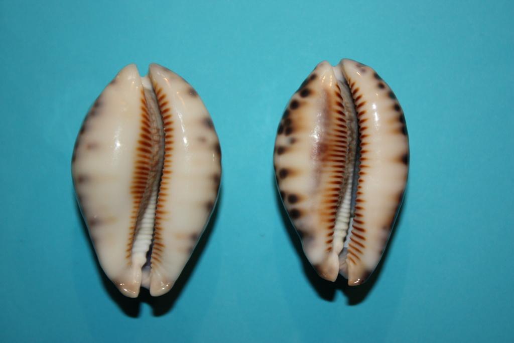 Mauritia histrio - (Gmelin, 1791) - Page 4 16_rig10