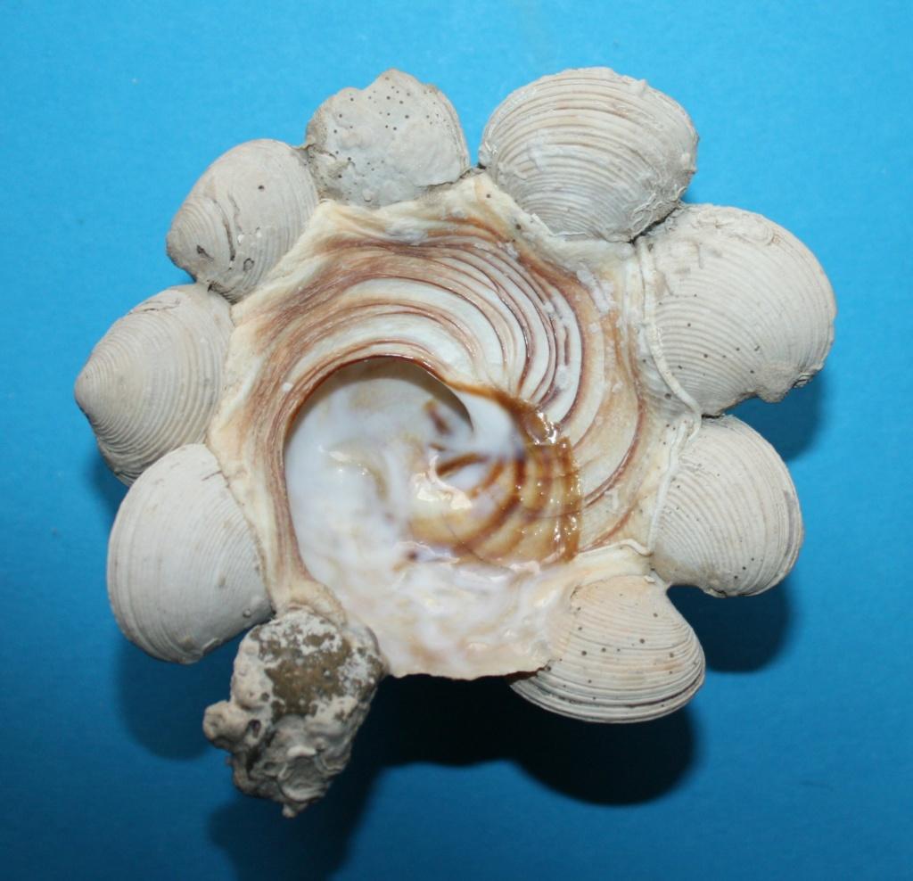 Xenophora neozelanica neozelanica - Suter, 1908 173