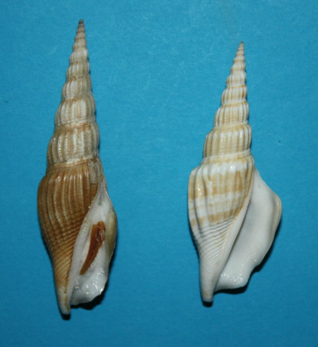Doxander vittatus apicatus - (Man in 't Veld & Visser, 1993) voir Doxander vittatus (Man in 't Veld & Visser, 1993) 178