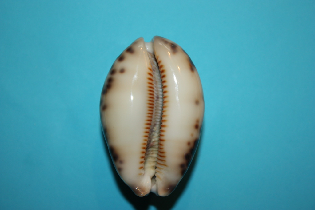 Mauritia histrio - (Gmelin, 1791) - Page 4 1810