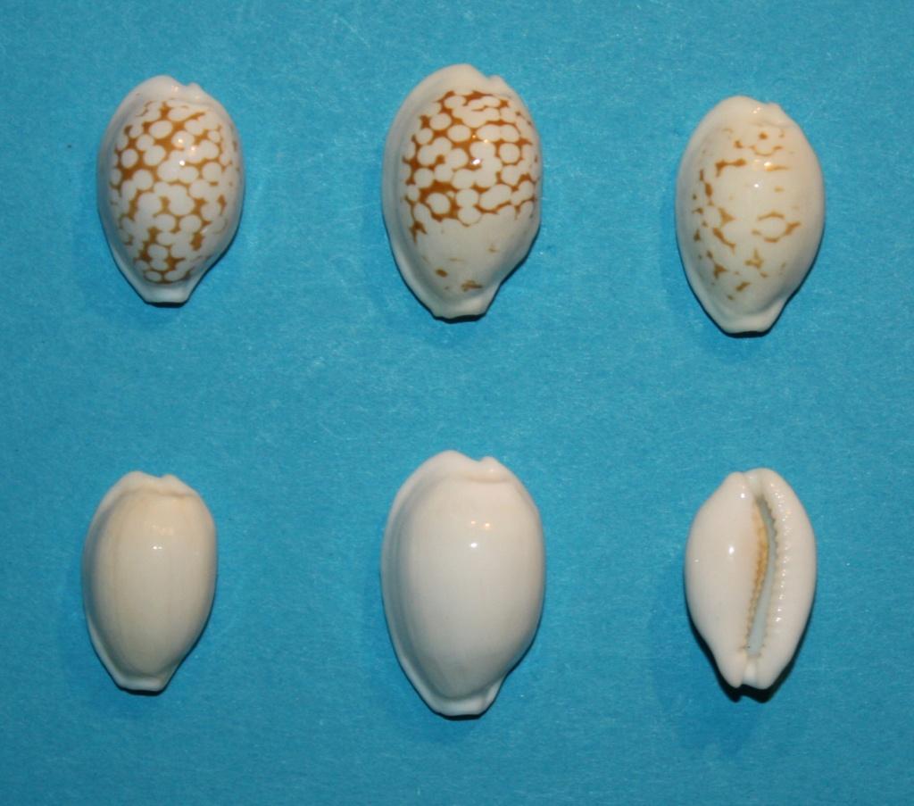 Cribrarula melwardi - (Iredale, 1930) 186
