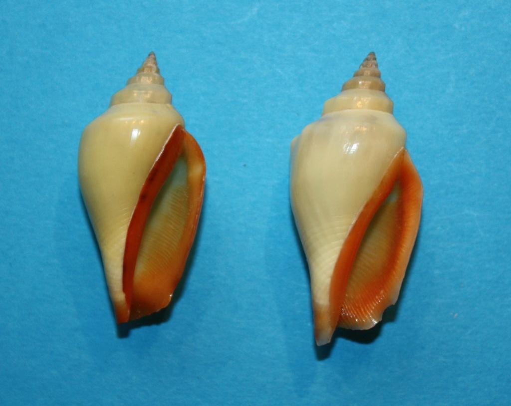 Canarium anatellum - (Duclos, 1844) 1_cana10