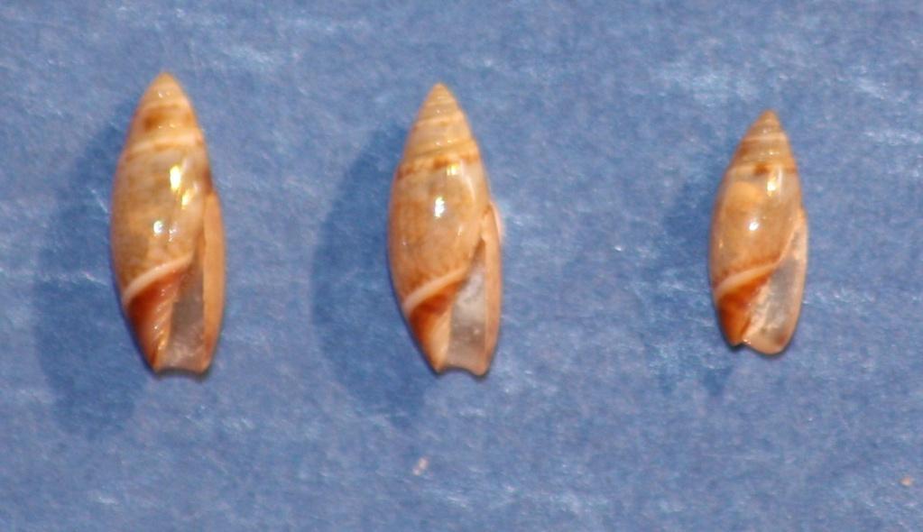 Olivella arionata Absalao, 2000 1_ilha10