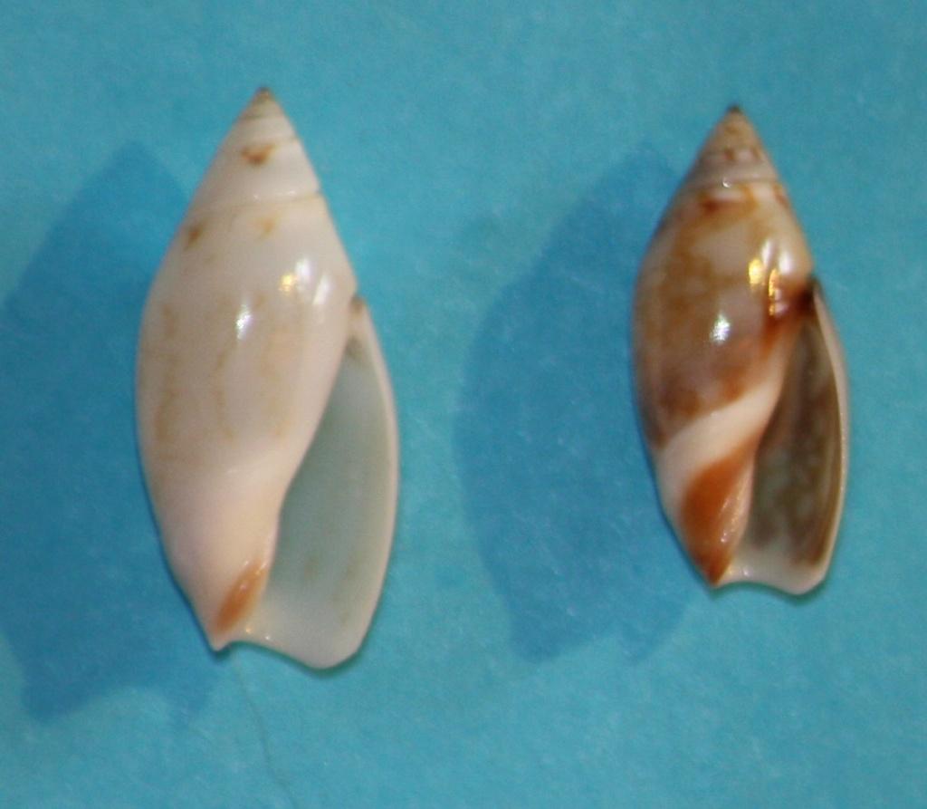 Olivella mandarina (Duclos, 1835) 1_oara10