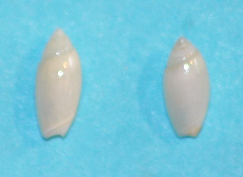 Olivella orejasmirandai Klappenbach, 1986 2-5_5_10