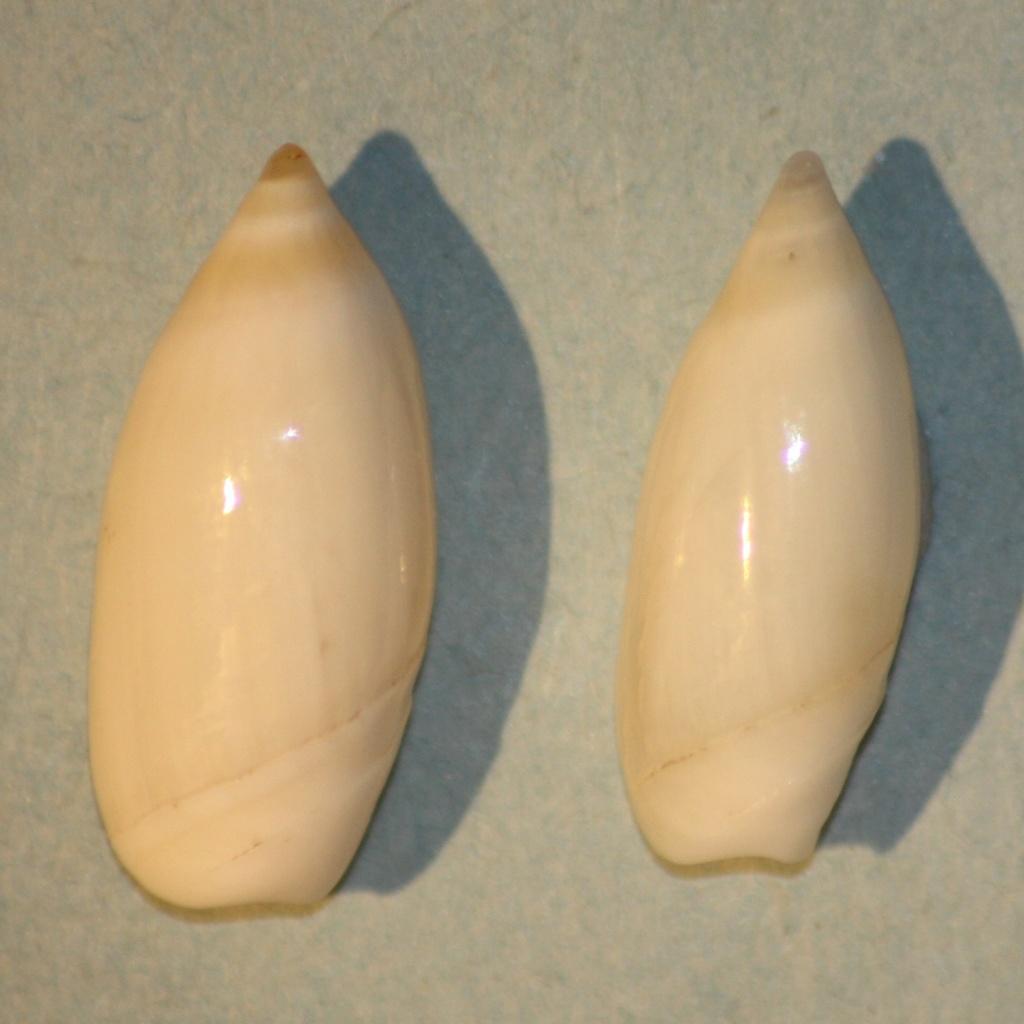 Ancilla cylindrica (Sowerby,1859) 2-anci12
