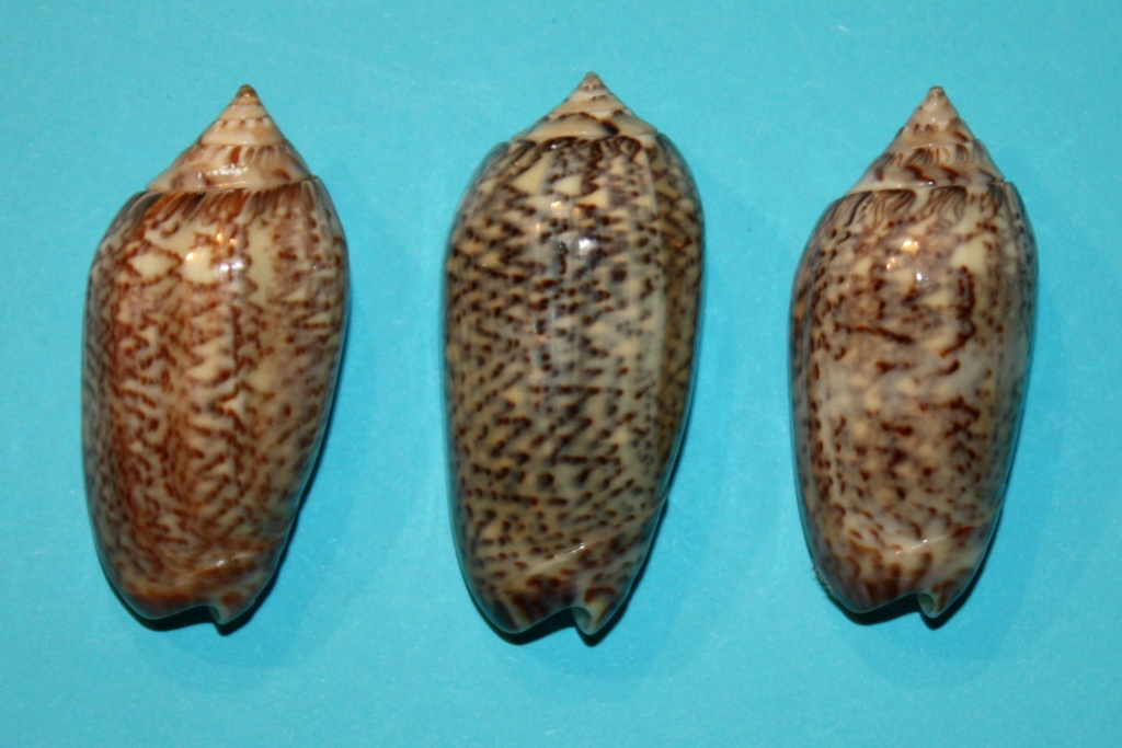 Americoliva venulata (Lamarck, 1811) 2-righ11