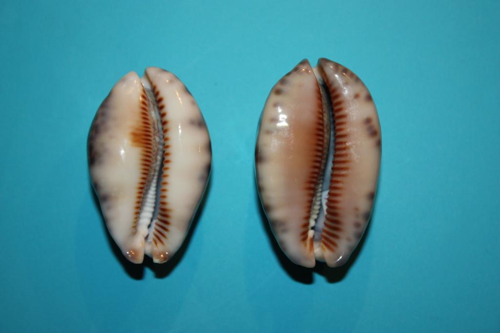 Mauritia histrio - (Gmelin, 1791) - Page 3 2-righ12