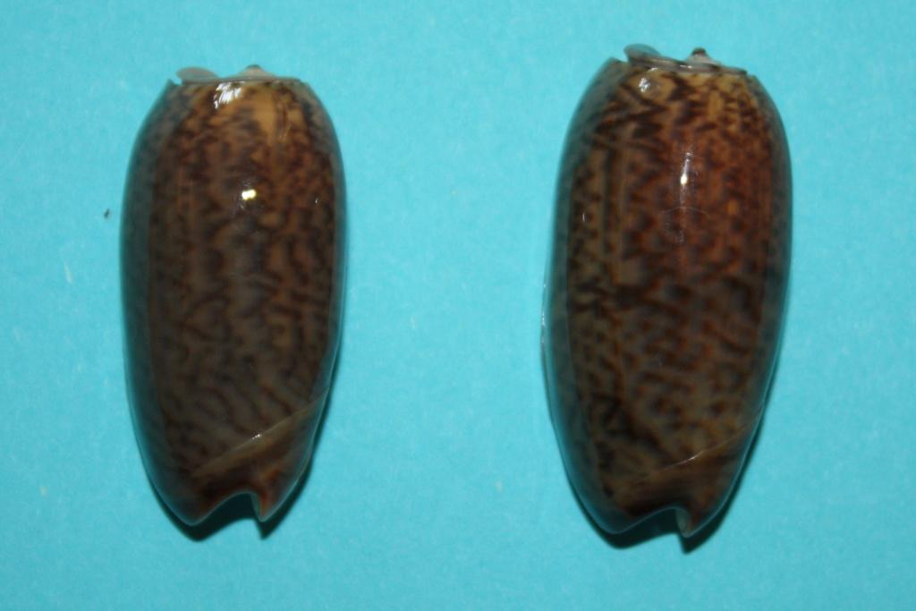 Viduoliva neostina (Duclos, 1840) 2-vidu10