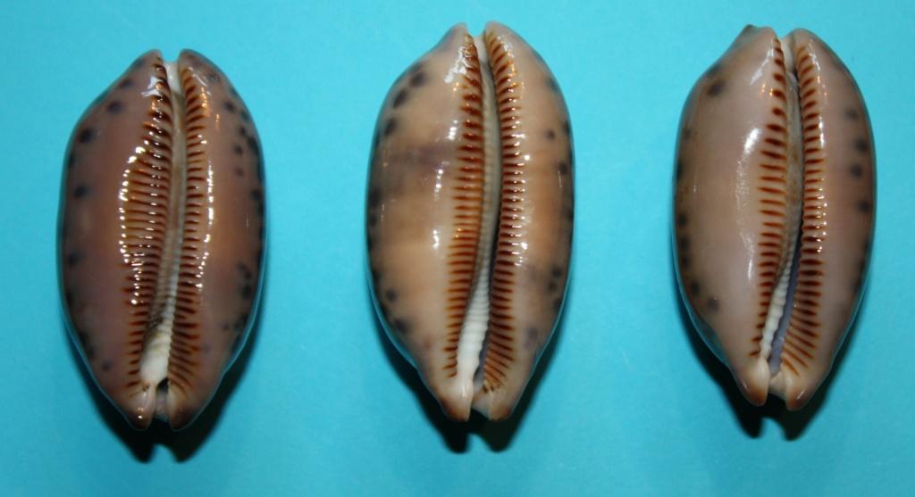 Mauritia scurra scurra - (Gmelin, 1791)  212
