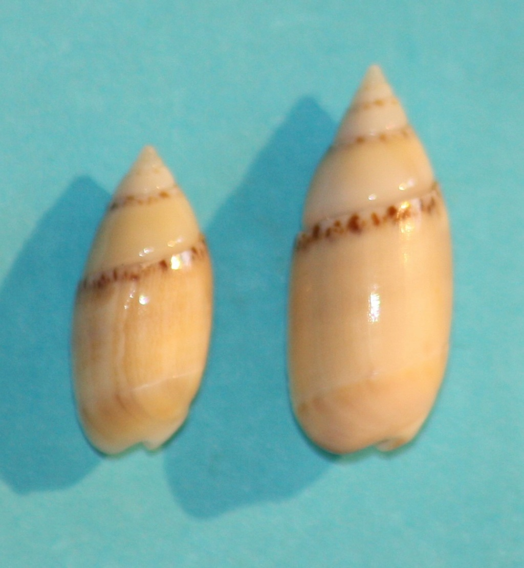 Olivella dealbata - (Reeve, 1850)  voir Dactylidia mica (Duclos, 1835) 218