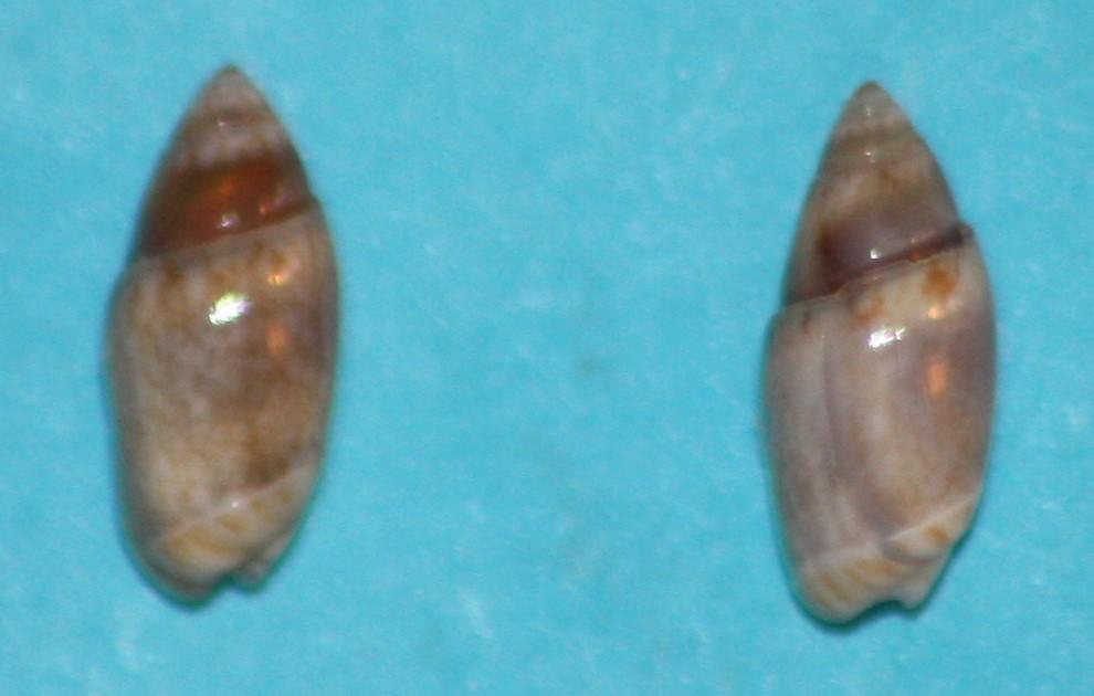 Olivella pusilla (Marrat, 1871) ou Dactylidia pusilla (Marrat, 1871) 221