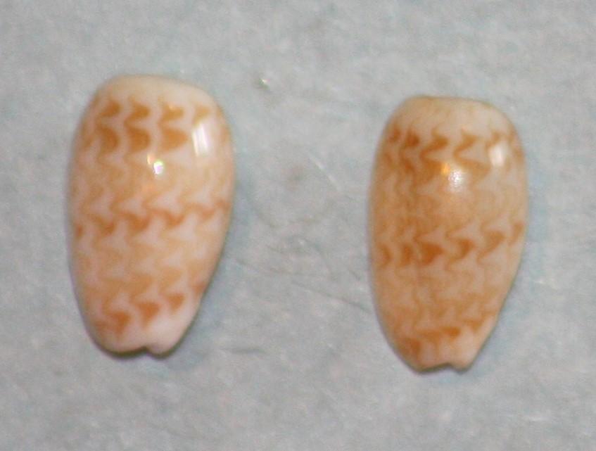 Gibberula pulchella - (Kiener, 1834) 235