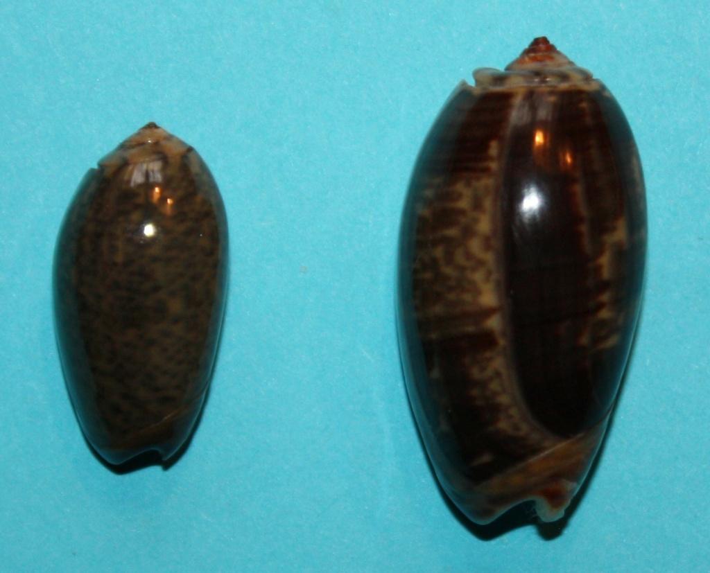 Carmione lecoquiana (Ducros de St Germain, 1857) - Worms = Oliva lecoquiana Ducros de Saint Germain, 1857 237